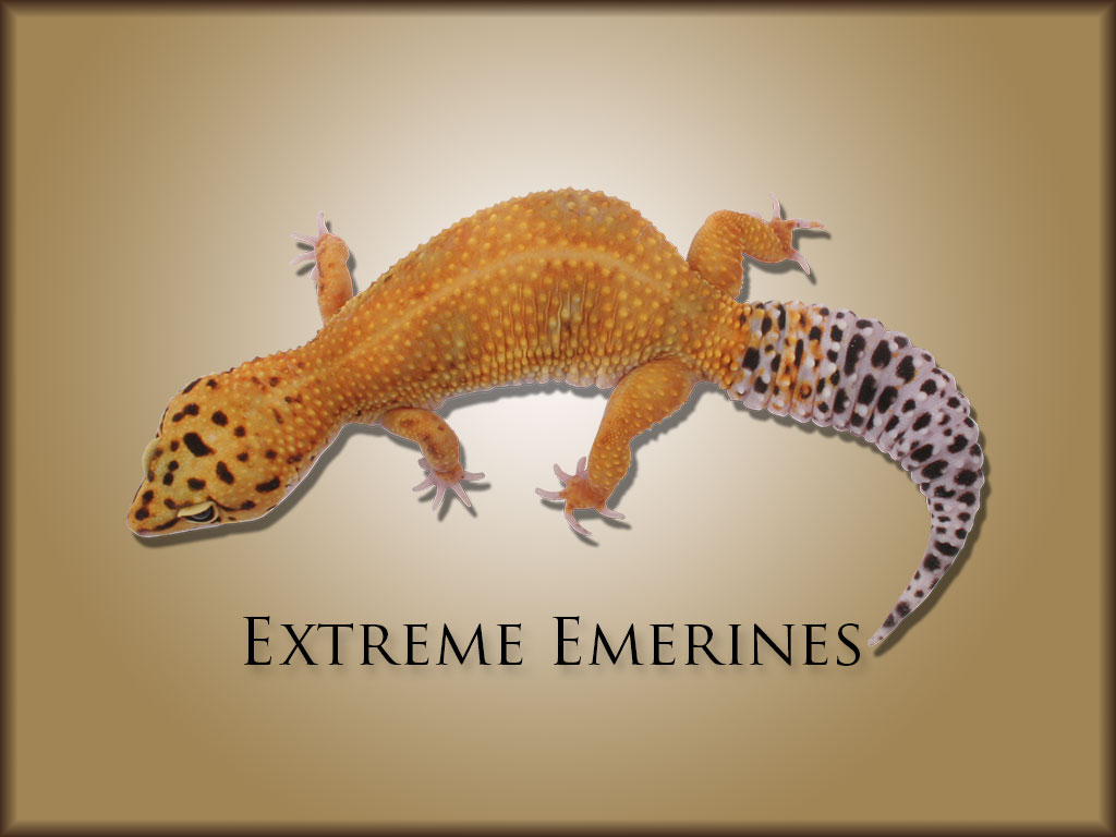Quality Geckos | Breeder of exotic leopard geckos